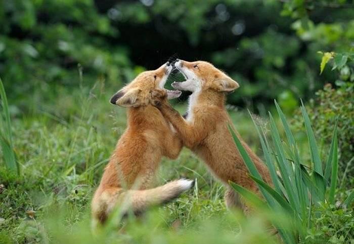 Sedma kampanja oralne vakcinacije lisica